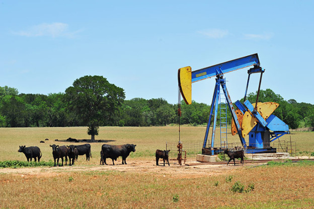 Cows in a field by an oil rocking pump